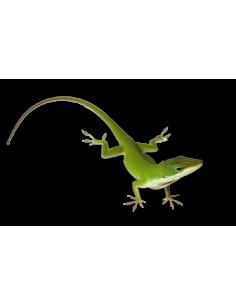Geckos Leopardo NASCIDOS EM 2017